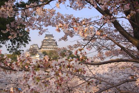 春の姫路城と桜の素材 [FYI01016444]