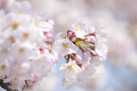桜の素材 [FYI01016652]