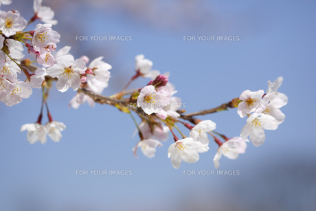 桜の素材 [FYI01016656]