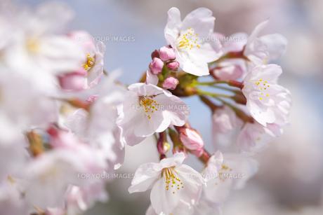 桜の素材 [FYI01016659]
