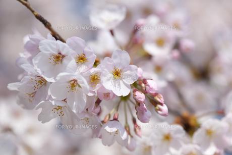 桜の素材 [FYI01016661]