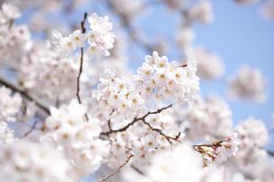 桜の素材 [FYI01016673]