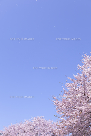 桜と青空に舞う花びらの素材 [FYI01016674]