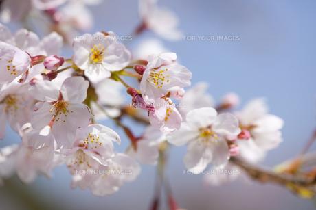 桜の素材 [FYI01016677]