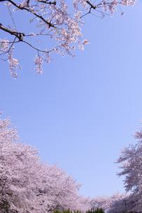 桜と青空の素材 [FYI01016689]