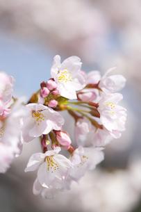 桜の素材 [FYI01016692]