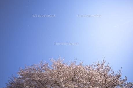 桜と青空に舞う花びらの素材 [FYI01016696]
