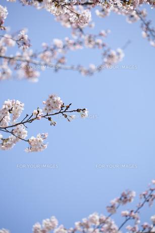 桜と青空の素材 [FYI01016704]