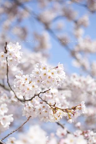 桜の素材 [FYI01016709]