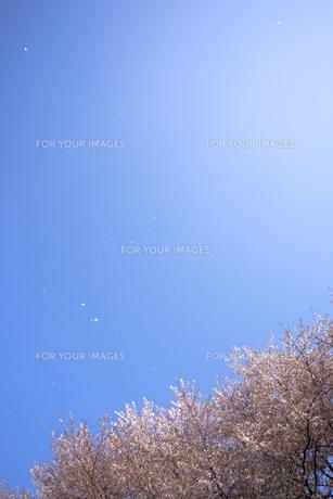 桜と青空に舞う花びらの素材 [FYI01016723]