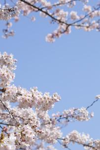 桜と青空の素材 [FYI01016745]