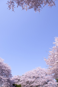 桜と青空の素材 [FYI01016769]