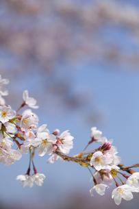 桜の素材 [FYI01016774]