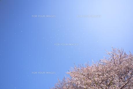 桜と青空に舞う花びらの素材 [FYI01016797]