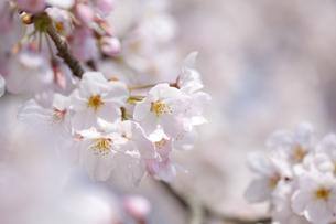 桜の素材 [FYI01016839]