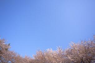 桜と青空に舞う花びらの素材 [FYI01016840]
