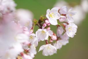 桜の素材 [FYI01016841]