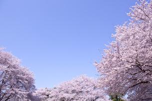 桜と青空の素材 [FYI01016853]