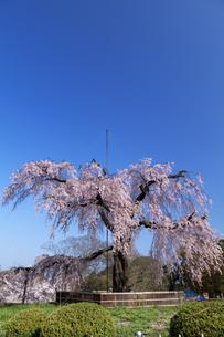 円山公園のしだれ桜の素材 [FYI01017543]