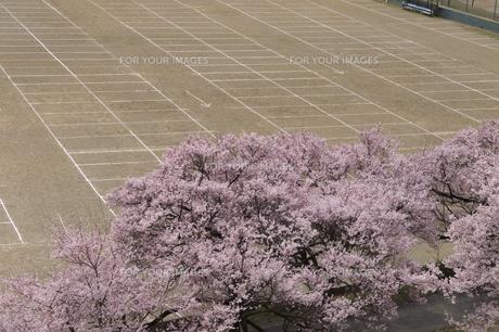 グラウンドと桜の素材 [FYI01019436]