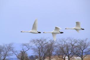 冬空を飛ぶ白鳥の素材 [FYI01023045]