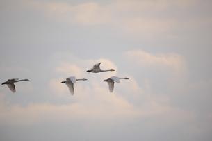 4羽で飛ぶ白鳥の素材 [FYI01023913]