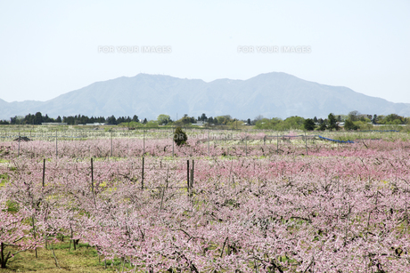 弥彦山と桃畑の素材 [FYI01024227]