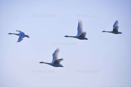 群れで飛ぶ白鳥の素材 [FYI01024593]