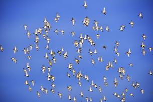 青空を飛ぶ鴨の群れの素材 [FYI01024614]