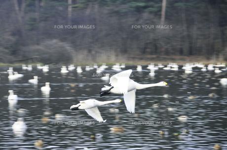 飛来した白鳥の群れの素材 [FYI01024663]
