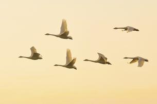 夕暮れの空を飛ぶ白鳥の群れの素材 [FYI01024675]
