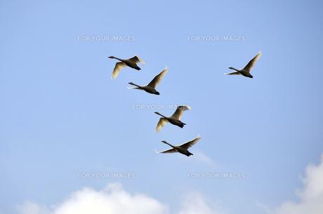 群れで飛ぶ白鳥の素材 [FYI01024909]