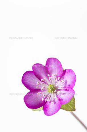 雪割草の花の素材 [FYI01025108]