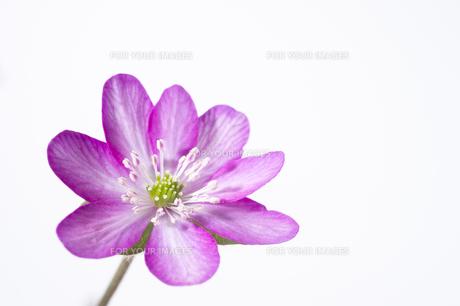 雪割草の花の素材 [FYI01025113]