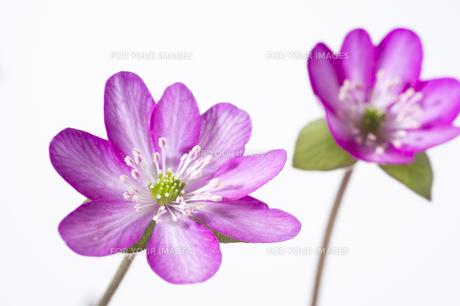 雪割草の花の素材 [FYI01025114]