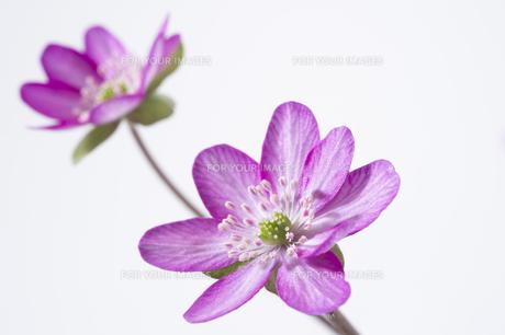雪割草の花の素材 [FYI01025118]