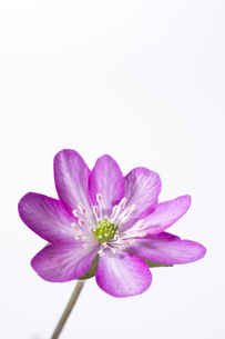 雪割草の花の素材 [FYI01025121]