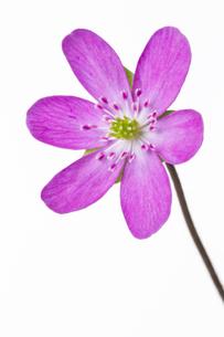 雪割草の花の素材 [FYI01025139]