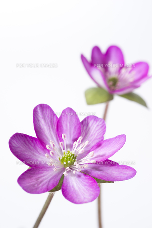 雪割草の花の素材 [FYI01025144]