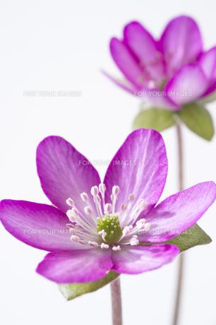 雪割草の花の素材 [FYI01025168]