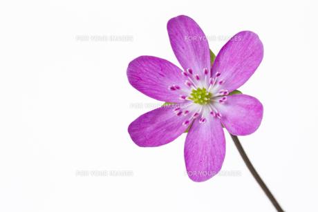 雪割草の花の素材 [FYI01025204]
