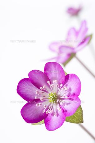 雪割草の花の素材 [FYI01025289]