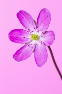 雪割草の花の素材 [FYI01025293]