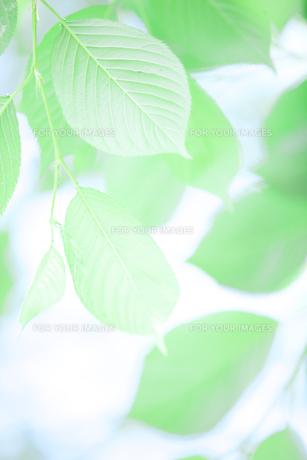 新緑葉の素材 [FYI01028374]