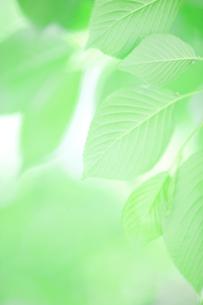 新緑葉の素材 [FYI01028418]