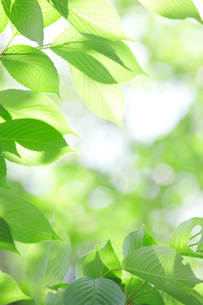 新緑葉の素材 [FYI01028441]