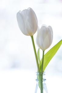 食卓の花 チューリップの素材 [FYI01029122]