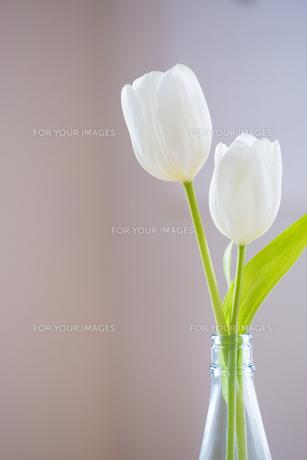 食卓の花 チューリップの素材 [FYI01029190]