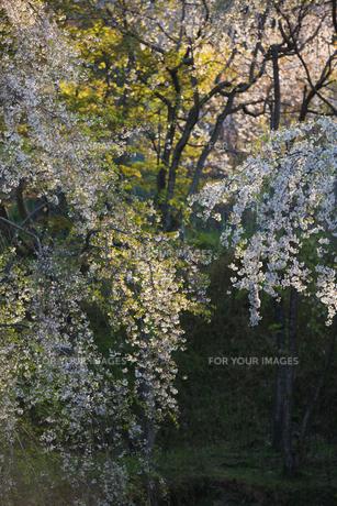 桜の素材 [FYI01029840]