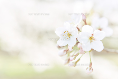 桜と芝生の素材 [FYI01033805]